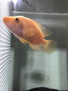 Selling Midas / Red Devil Cichlid Fish