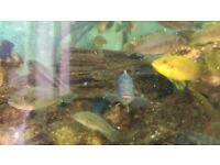 40+ Beautiful Malawi Cichlids For Sale