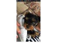 Yorkie pups for sale ready now ring 07835412614 no txt 1 boy 1 girl left
