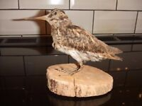 Taxidermy jack snipe