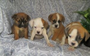 Bulldog/Pug x Puppies Looking for a Home
