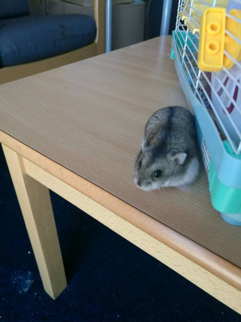 Russian dwarf hamster With cage and accesrries