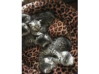 British shorthair silver spotted kittens