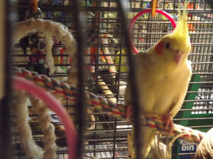 NUTHOUSE AVIARY AND PARROT RESCUE HAS 3 COCKATIELS FOR ADOPTION