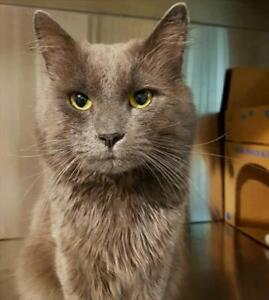 "Adult Male Cat - Domestic Medium Hair: ""Grey"""