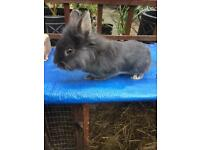 Blue Grey Lionhead X Netherland Dwarf Rabbit