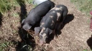 Berkshire x Large Black/Tamworth Weaner Pigs