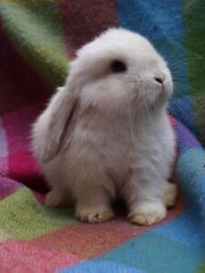 Only 2 Adorable baby Mini Lops left ! 5 weeks old! ready to go!
