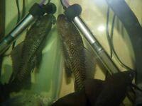 S. American Cichlids.