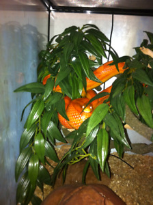 Corn snake, Lilith and Terrarium