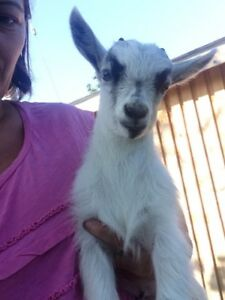 baby male goat
