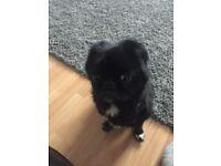 3 yr old pug x shihtzu