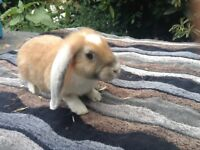 English cross French lop