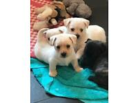 Westie X Cairn Terrier Puppies