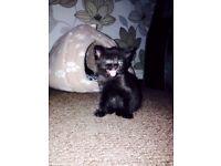 2 wee beautiful black kittens