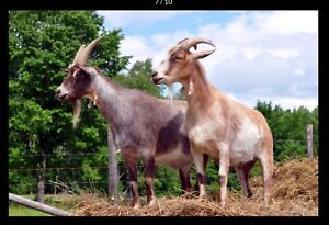 Goats: Pygmy wethers available