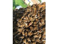 HONEY BEES FOR sale in a nuc or hive,honeybees,local honey,nucleus