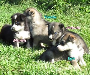 Amerindian Husky puppies to start your fall adventures.