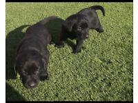 Labrador Pups