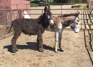 2 full size yearling donkeys for sale