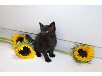 Black kitten boy for sale_Edinburgh