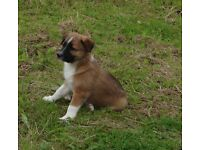 COLLIE PUPPIES WELSH RED/BRINDLE