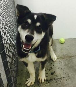 "Young Male Dog - Husky-Border Collie: ""Carlos"""