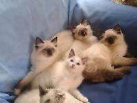 Stunning, Pedigree Ragdoll Kittens Ready Now!