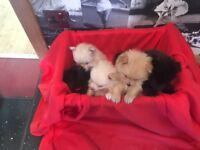 Pomeranian Puppies Inverness 2 Black 2 cream 1 fawn