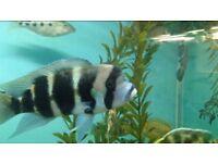 Fish Frontosa cichlid 7 Inch