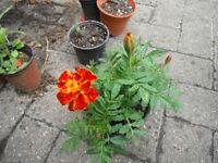 Plants for sale-French Marigold plant-80p per 14 cm pot