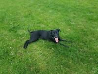 Staffy cross Labrador 😊