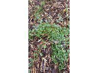 30 Cotoneaster Dammeri/Bearberry Shrubs