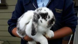 "Young Male Rabbit - Lop Eared: ""Jagger"""