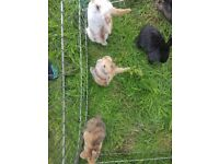 Mixed litter of giant lop x english lop