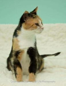 "Adult Female Cat - Domestic Short Hair: ""Meadow"""