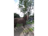 13.2hh Amazing second pony for sale