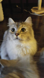 1 YEAR OLD PERSIAN MIX MALE LOOKING FOR A NEW HOME