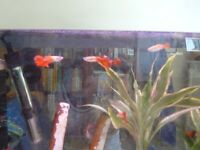 Fully grown Male guppies for sale