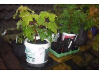 Selection of young trees all individually potted £45. TREES MUST BE MOVED THIS WEEKEND.
