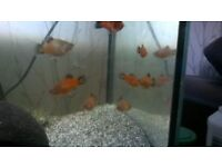 Tropical fish FREE to good home- young platies