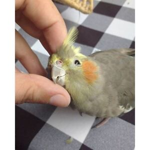 ❤★❤Cockatiel Babiies with Cage❤★❤