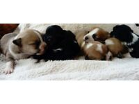 For sale shih tzu x shih poo puppies