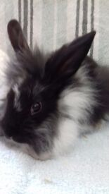 Lion head rabbits 8 weeks males and females very well handled