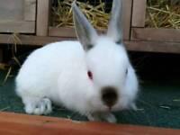 Netherland dwarf hymilayan bunny