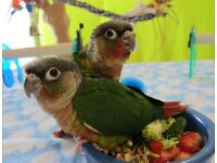 BEAUTIFUL IBABY PARROT FOR SALE