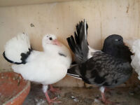 fantail pigeons for sale