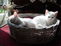 Beautiful pure white kittens