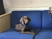 Weimaraner. Short haired pionter puppy 16 weeks old