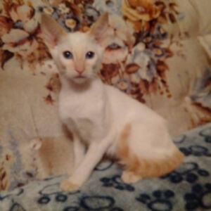RARE PUREBRED CLASSIC FLAME POINT & TORTIE POINT - SALE PRICE